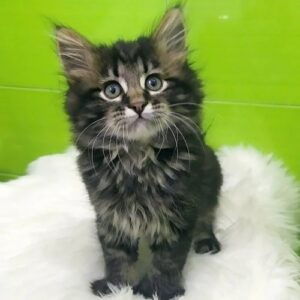 maine coon breeders near me, maine coon size