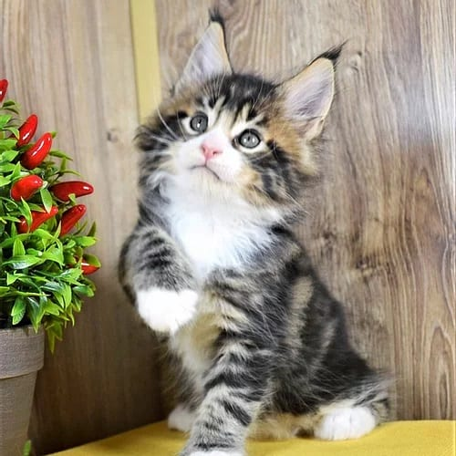 purebred maine coon kittens for sale