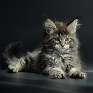 maine coon cats for sale,maine coon cat for sale,maine coon tabby,Maine Coon Big
