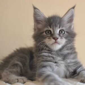 giant maine coon kittens for sale
