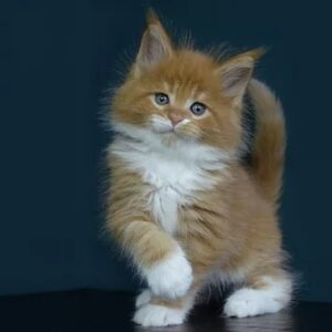maine coon kittens for sale near me