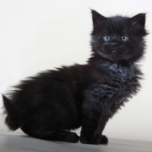 Maine Coon kittens for sale pa