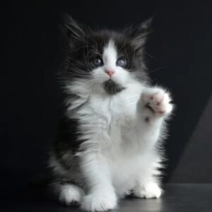 maine coon kittens near me