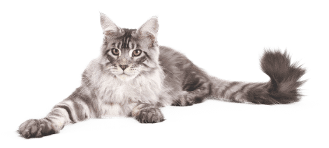 coon cats for sale,maine coon cat price